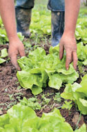 Growing Lettuce and Agriculture